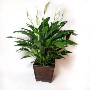Plant 7 - $37.50